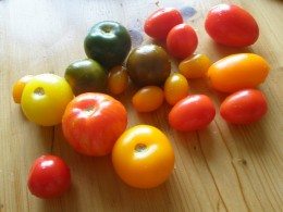Any variety of tomato can be harvested for seed saving.