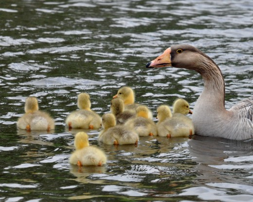 Chinese goose with goslings on Bingley canal