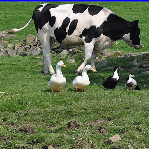 'The black and whites' The domestic ducks and blue Swedish ducks backed by a cow