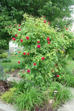 Climbing roses need a good support in order to show off their blooms properly