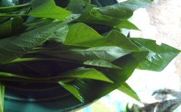 Young Leaves of Swamp  Cabbage by Travel Man