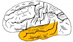 What Are the Temporal Lobes?