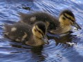 How to raise a baby duckling