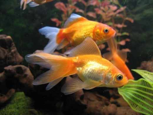 Goldfish bring wealth and help keep it