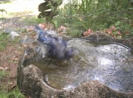 Blue Jay Bathing