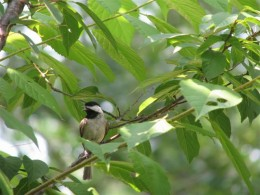 Young Carolina Chickadee panting in the heat as it waits its turn.