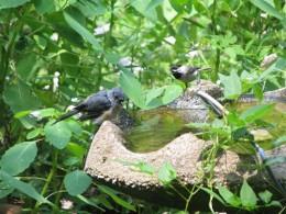 Tufted Titmouse and Carolina Chickadee share the bath.