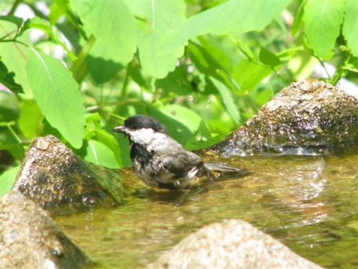 Chickadee Splashes and Bathes