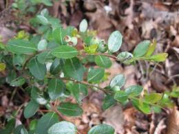 Box Huckleberry is an endangered species.
