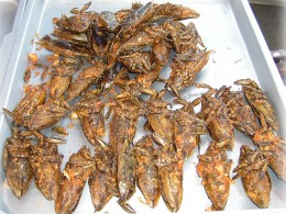 Giant water bugs are captured and deep fried to make an alleged tasty snack item in Asia.