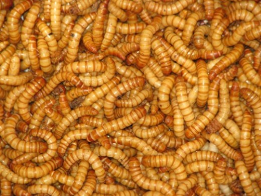 Mealworms are also readily available and easy to raise as food items.