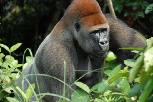 Handsome silverback gorilla