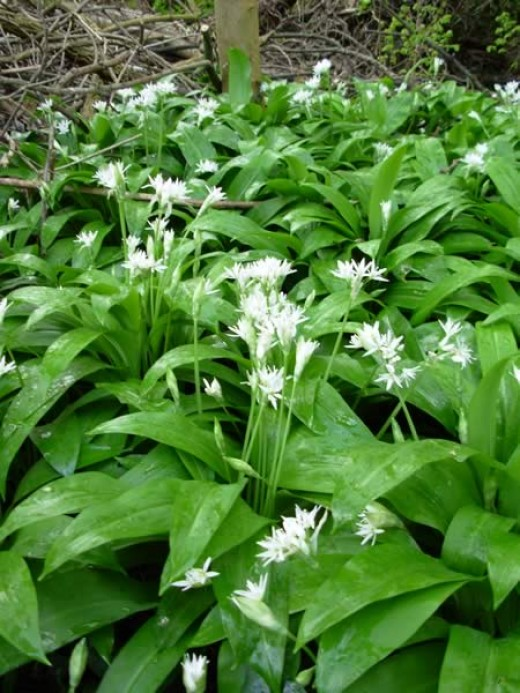 Wild Garlic makes excellent soups as well as pesto, and a wonderful omelette