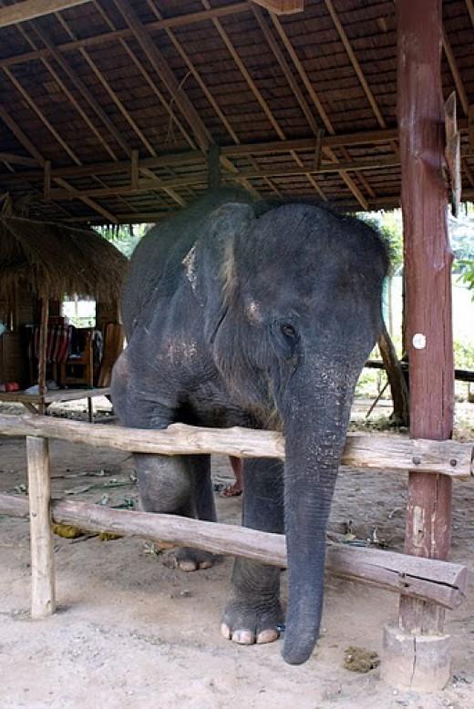 Kinnaree Elephant Trekking Park in Phuket Thailand