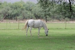 Laminitis in Horses - Treatment and Prevention