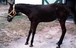 The stance adopted by a horse suffering from laminitis.