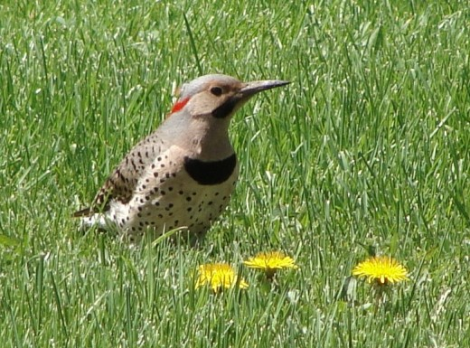 Here's a wonderful photo of a yellow-shafted flicker, similar to the mother flicker nesting in my backyard