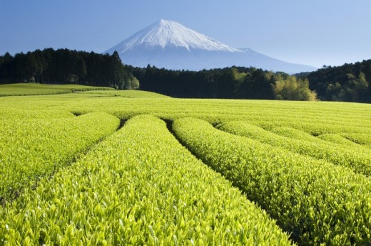 Green tea growing as far as the eye can see