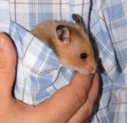 Title: Syrian Hamster in the Pocket ~ License sxu license ~ Photographer jaaro ~ everystockphoto.com