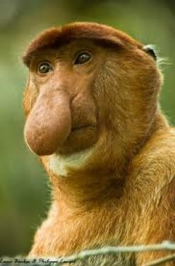 Interview with Proboscis Monkey
