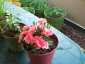 Growing A Container Garden In Your Apartment Backyard With Plants Such As Tomatoes And Carnations