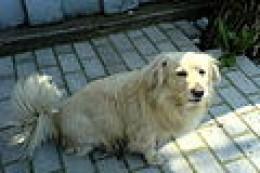 Dog-typical mongrel. Sarah's dog Buddie looks something like this.