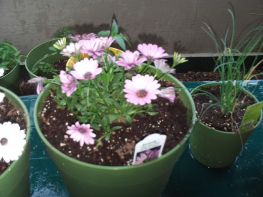 The pot of African daisies.