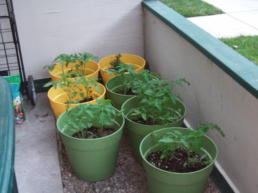 Buy large containers for propagating tomato plants as they tend to grow quite a bit, especially in the warm weather of Southern California springs and summers.