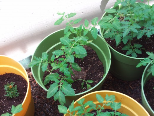 The tomato plants have grown quite a bit in the last few days.