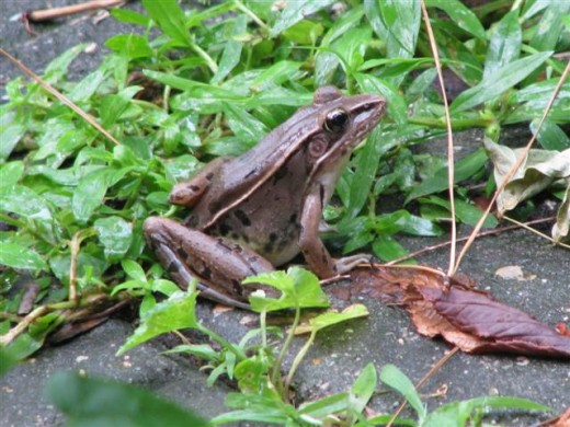 Another of the adult Bronze frogs that live in the rain garden.