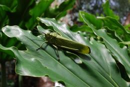 Green locust on a leaf