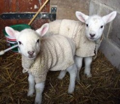 LITTLE LAMBS HAVE FEELINGS TOO - No Mint Sauce Allowed
