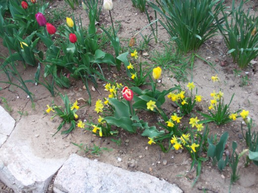 Small daffodils clustered next to regular sized tulips.