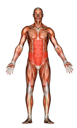 Visual representation of the core muscles.