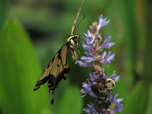 Pickerel Weed is used by Swallowtails and native Bumblebees.