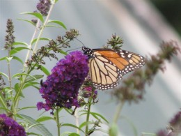 Butterfly Bush (Buddleia) is used by Monarchs, Swallowtails and other butterflies.