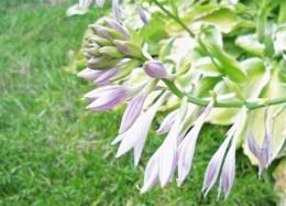 Lavender Bells