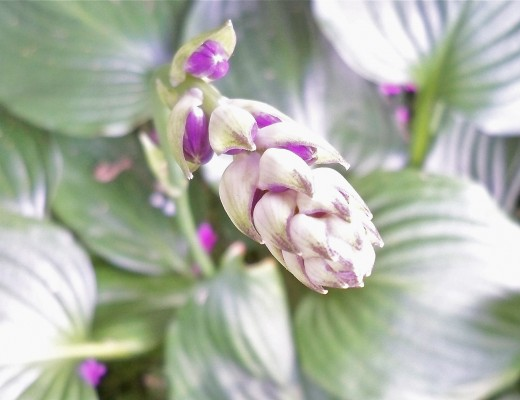Deeper Colors on Shade Hosta