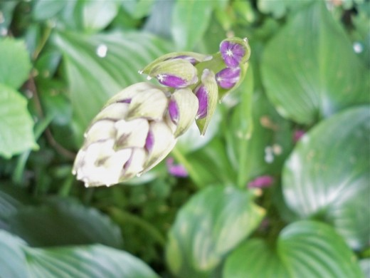 Lavender-Like Buds
