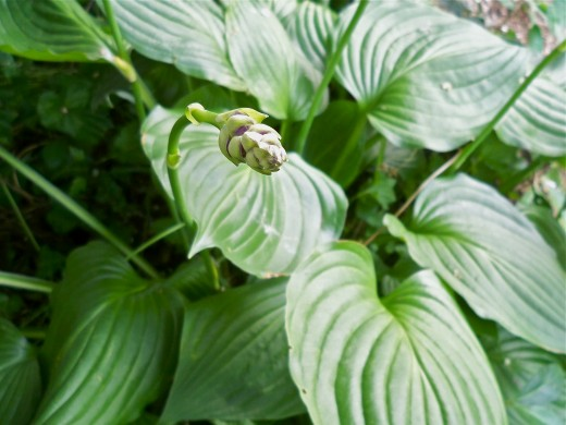 Dark Green Hosta Foliage