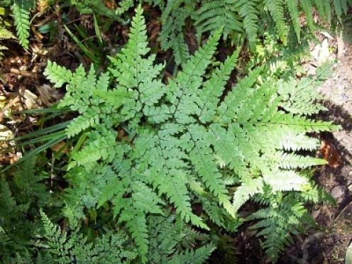 Maidenhair Fern  6, hardy, rich soil with leaf mold