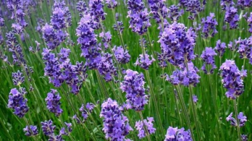 Lavender  3, hardy, evergreen perennial, aromatic, needs dryer soil
