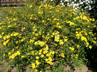 Kerria japonica  10 spring flowers, arching, easiest to grow, like all types of soil