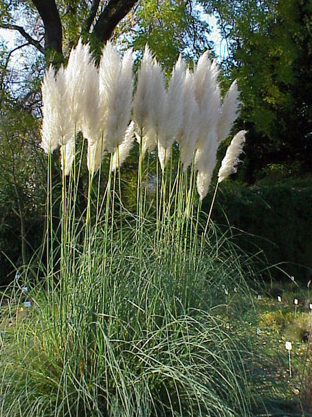 Pampas Grass  8, evergreen oranamental grass, silvery-white plumes summer to autumn