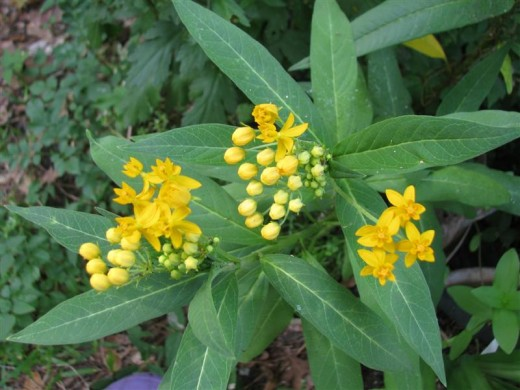 A yellow cultivar of Asclepias curassavica.