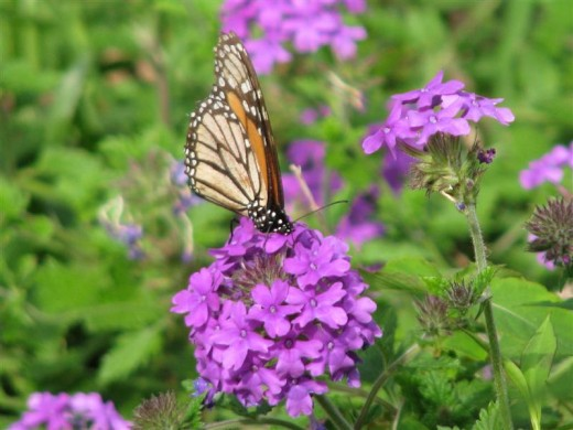 Homestead Verbena is a butterfly magnet.