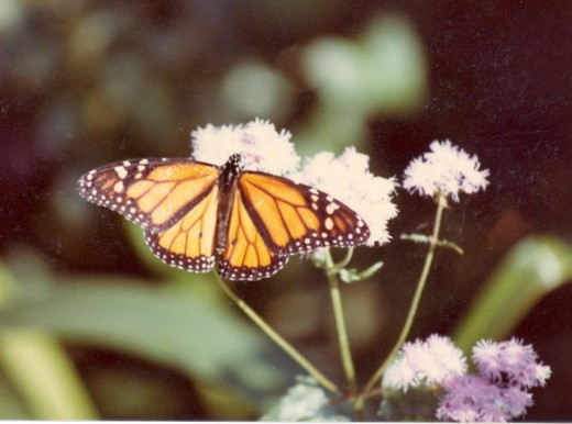 Members of the Eupatorium spp., like Mist Flower is popular with many butterflies, including Monarchs.