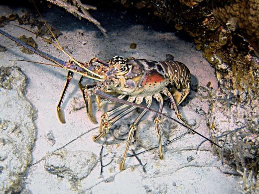 Bahamian spiny lobster