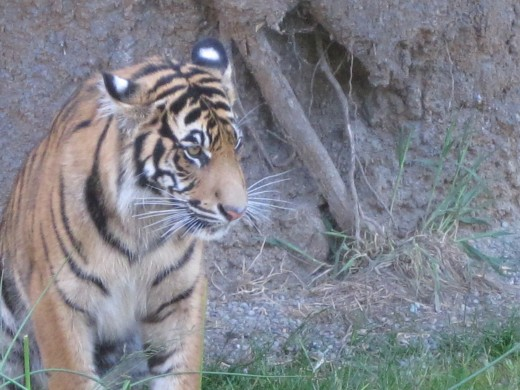 Sumatran Tiger intently watching a duck paddling in the pond nearby.