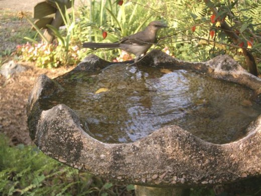 Mockingbird getting a drink and thinking about a bath.